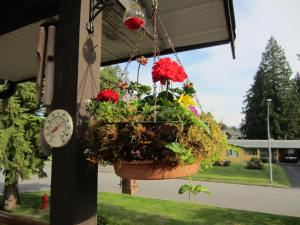 deck basket.....a few of the petunias are starting to bloom.....