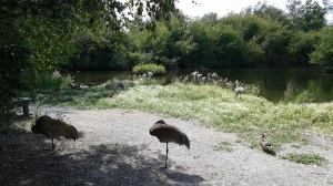 Sandhill cranes....they are huge!