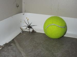with a tennis ball to compare the size of this guy!