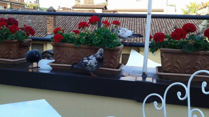 Bologna pigeons