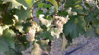 Naramata - Chardonnay
