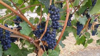Naramata - Pinot Noir